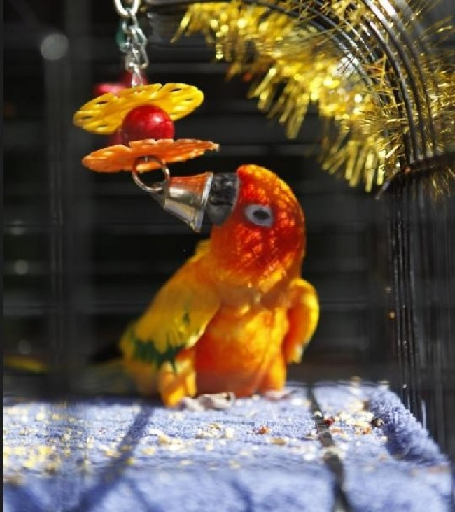 Parrot Playing with Its Toy