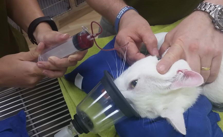 Giving a Cat a Blood Transfusion