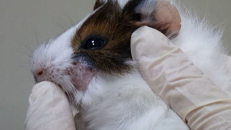 The Guinea Pig with Ringworm