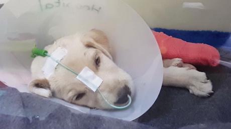 Parvo virus in puppies